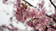 倉敷川沿いの河津桜が咲き始めています
