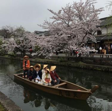 倉敷市内で桜が満開でした 1-2
