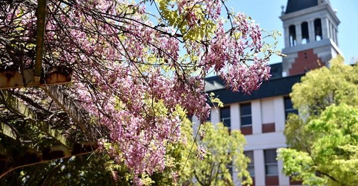 倉敷市の市花「ふじ」が見ごろです