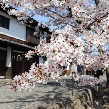 酒津公園と美観地区の桜(2018/3/30) 1-3
