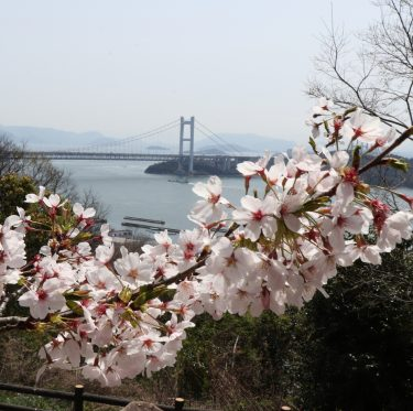 下津井城跡と田土浦公園 桜と瀬戸大橋(2018/3/31) 1-2