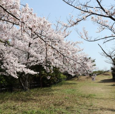 下津井城跡と田土浦公園 桜と瀬戸大橋(2018/3/31) 2-4