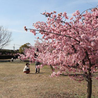 倉敷川沿いの河津桜が満開です(2019年) 1-2