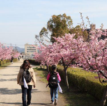 倉敷川沿いの河津桜が満開です(2019年) 1-3