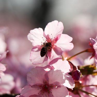 倉敷川沿いの河津桜が満開です(2019年) 3-2