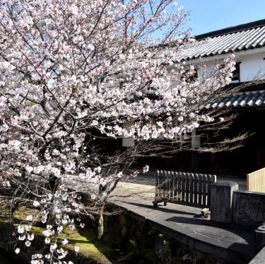 倉敷酒津公園と美観地区の桜 2-1