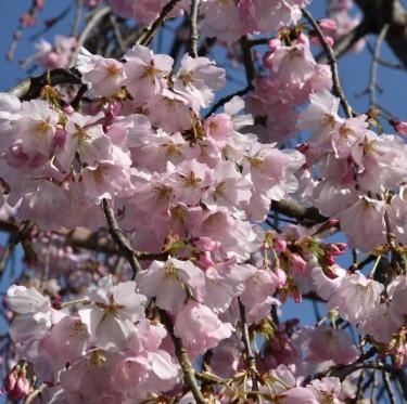 倉敷酒津公園と美観地区の桜 3-4
