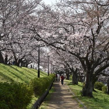 倉敷酒津公園と美観地区の桜 1-3