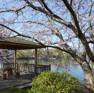 倉敷酒津公園と美観地区の桜 3-1