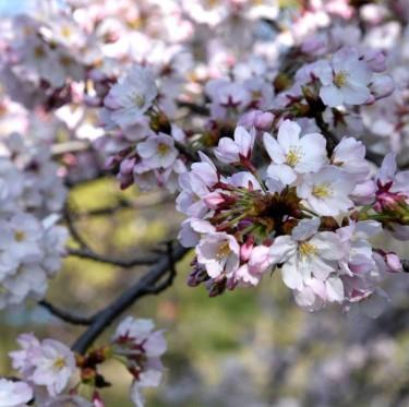 倉敷酒津公園と美観地区の桜 1-2