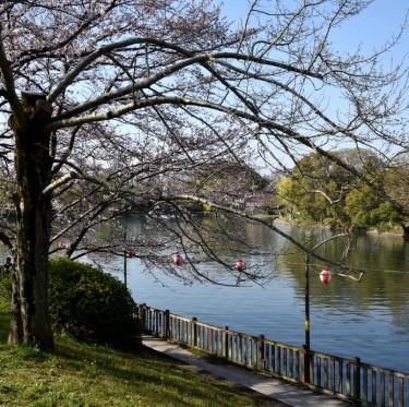 倉敷酒津公園と美観地区の桜 2-4