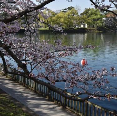 倉敷酒津公園と美観地区の桜 2-3