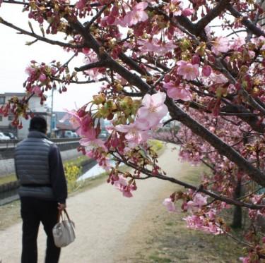 倉敷川沿いの河津桜が咲き始めています 2-1