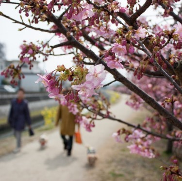 倉敷川沿いの河津桜が咲き始めています 1-3
