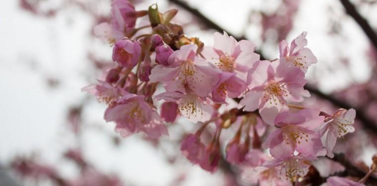倉敷川沿いの河津桜が咲き始めています 1-1