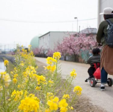 倉敷川沿いの河津桜が咲き始めています 1-2