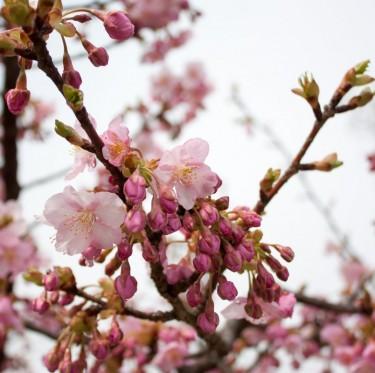 倉敷川沿いの河津桜が咲き始めています 2-2