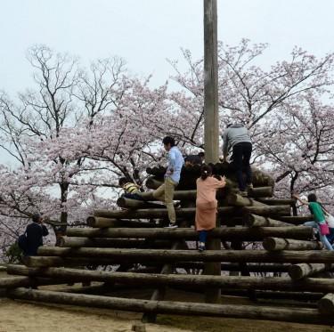 倉敷市内で桜が満開でした 2-1