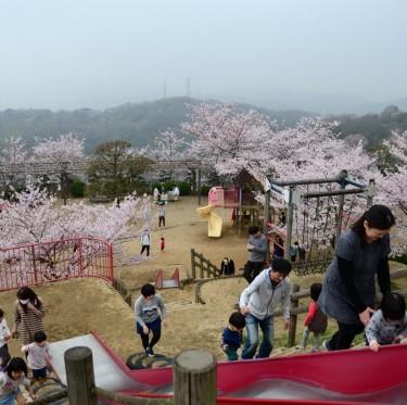倉敷市内で桜が満開でした 2-2