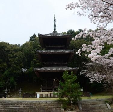 倉敷市内で桜が満開でした 1-3