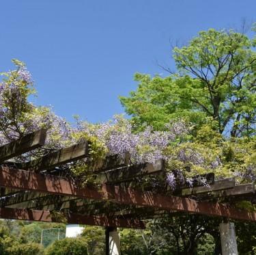 倉敷市の市花「ふじ」が見ごろです 2-2