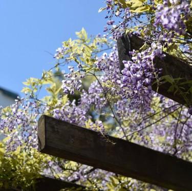 倉敷市の市花「ふじ」が見ごろです 2-3