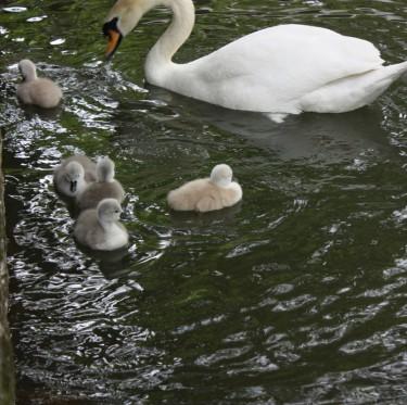 倉敷美観地区の白鳥にひなが誕生 2-1
