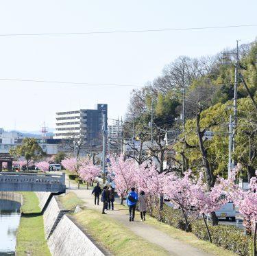 倉敷川沿いの河津桜が満開(2018年) 1-2