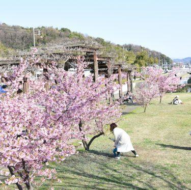 倉敷川沿いの河津桜が満開(2018年) 1-3