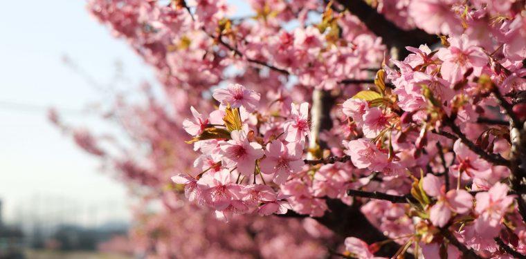 倉敷川沿いの河津桜が満開(2018年)