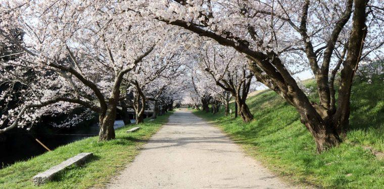酒津公園と美観地区の桜(2018/3/30)