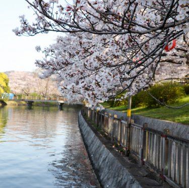 酒津公園と美観地区の桜(2018/3/30) 2-4