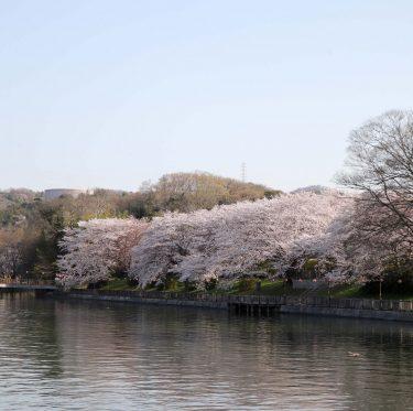 酒津公園と美観地区の桜(2018/3/30) 2-3