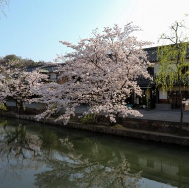 酒津公園と美観地区の桜(2018/3/30) 2-2