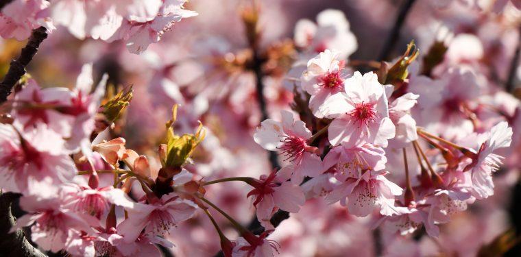 倉敷川沿いの河津桜が満開です(2019年)