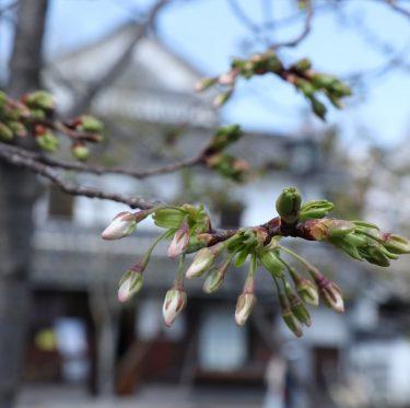 倉敷美観地区の桜の蕾の様子(平成31年3月24日) 1-2