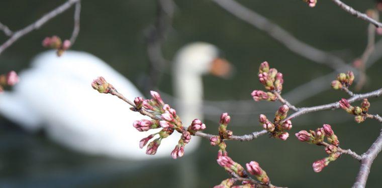 倉敷美観地区の桜の蕾の様子(平成31年3月24日) 1-1