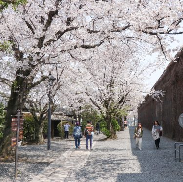 美観地区の桜 平成31年 4月6日  1-2