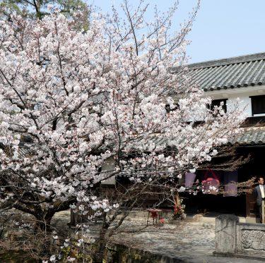 美観地区の桜 平成31年 4月6日  1-3