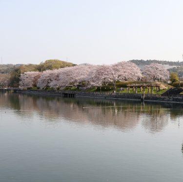 酒津公園の桜 平成31年4月7日 3-2