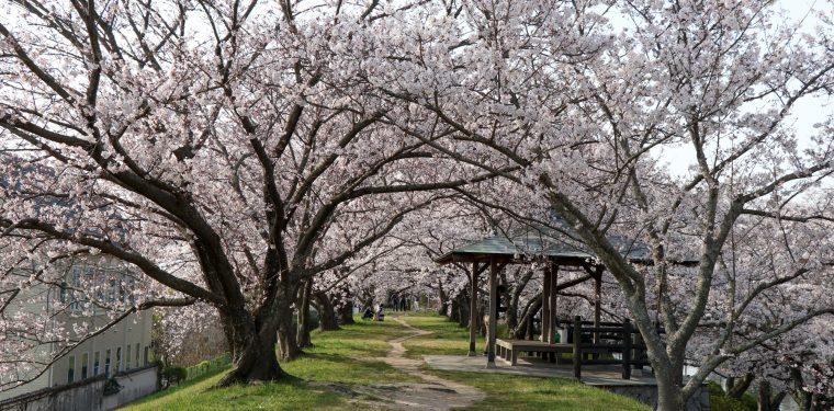 酒津公園の桜 平成31年4月7日