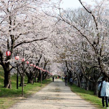 酒津公園の桜 平成31年4月7日 3-1