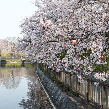 酒津公園の桜 平成31年4月7日 1-3