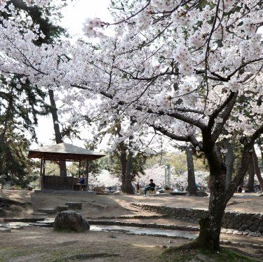 酒津公園の桜 平成31年4月7日 1-2