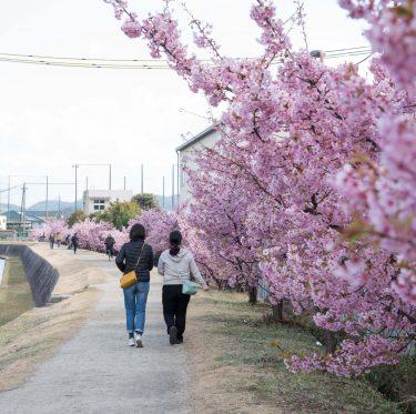 倉敷川沿い・親水公園の河津桜見ごろです(2020年) 1-2