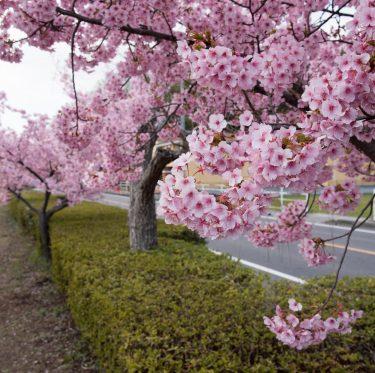 倉敷川沿い・親水公園の河津桜見ごろです(2020年) 3-1