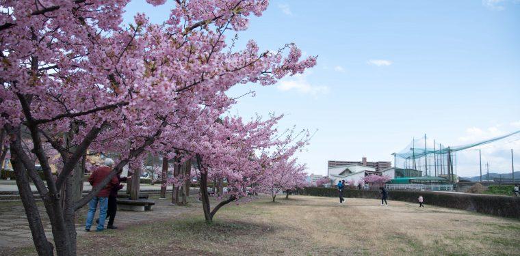倉敷川沿い・親水公園の河津桜見ごろです(2020年)
