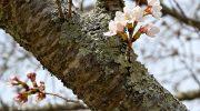 まきび公園の桜の様子(令和2年3月26日現在)