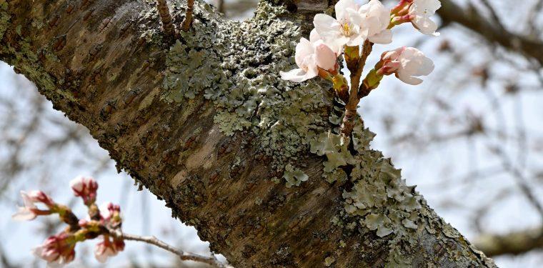 まきび公園の桜の様子(令和2年3月26日現在) 1-1