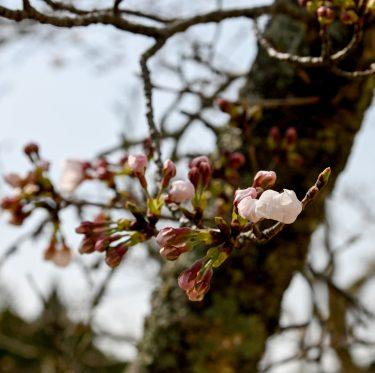 まきび公園の桜の様子(令和2年3月26日現在) 1-2